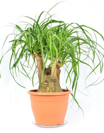Piante verdi vendita piante online dafneflor for Vendita piante ornamentali