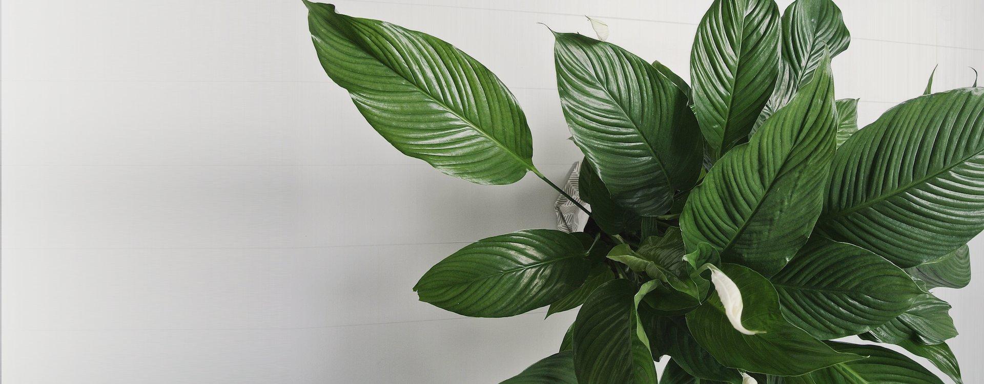 Slidenew piante verdi for Vendita piante ornamentali